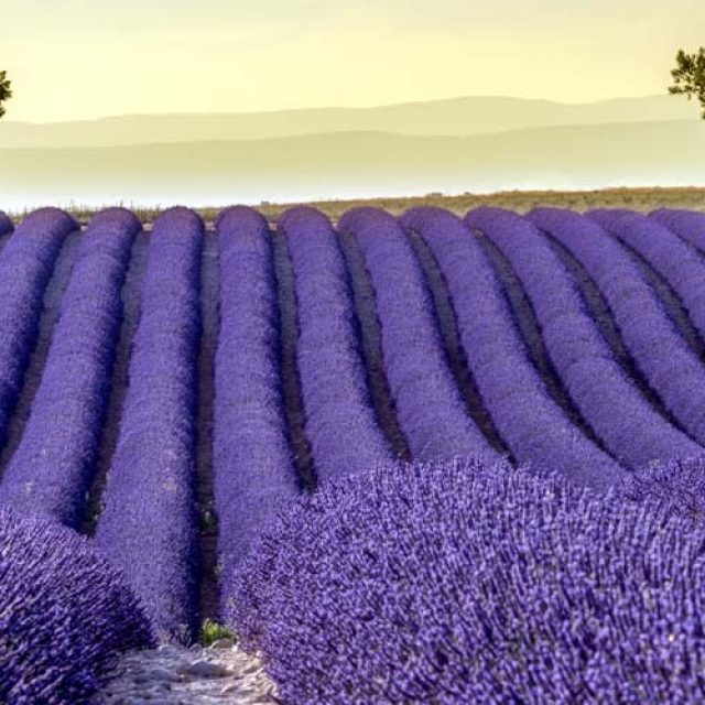 Know your lavender